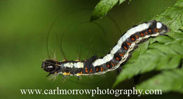 Caterpillar of the Grey Dagger Moth