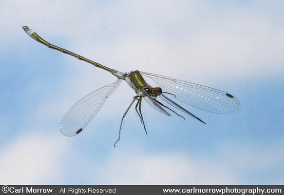 Emerald Damselfly in flight