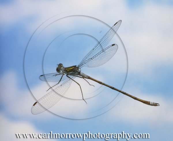 Emerald Damselfly in mid-flight