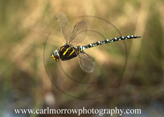 Common Hawker Dragonfly in mid-flight
