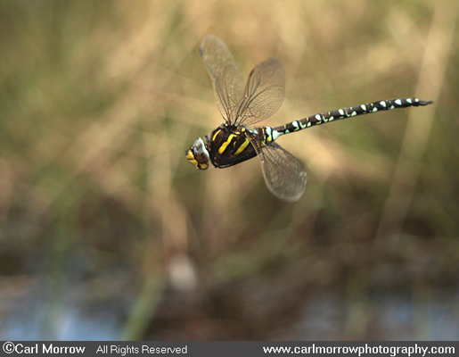Common Hawker Dragonfly in mid flight.