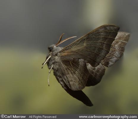Poplar Hawkmoth in mid flight.