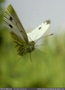 Green Veined White Butterfly in flight