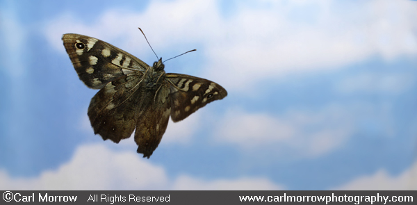 Speckled Wood Butterfly in flight.
