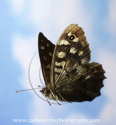 Speckled Wood Butterfly in flight.