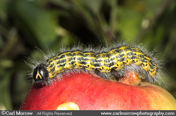 Buff Tip Moth Caterpillar