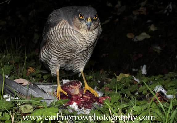 Female Sparrowhawk at a kill.