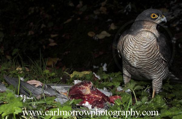 Female Sparrowhawk at a kill