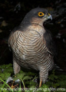 Female Sparrowhawk