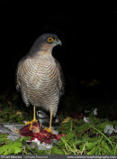 Sparrowhawk on a kill.