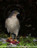Female Sparrowhawk at a kill