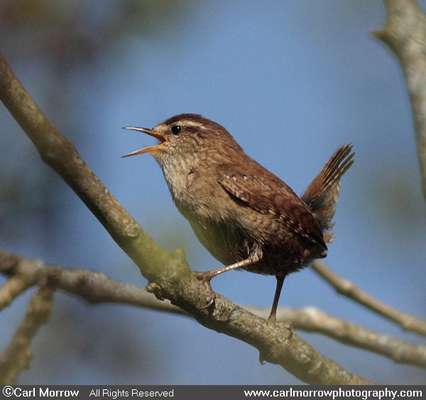 Wren's territorial song.