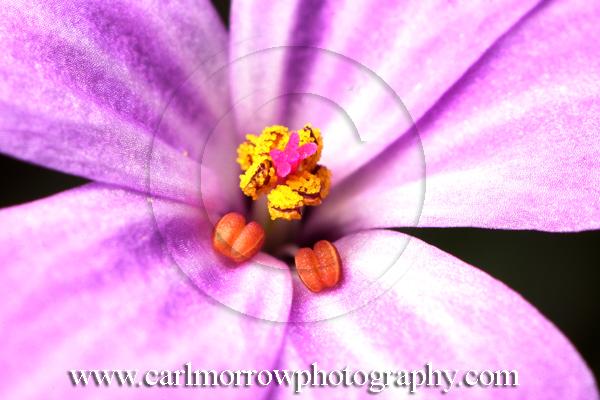 Herb Robert close-up.