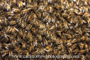 A Swarm of Honey Bees.