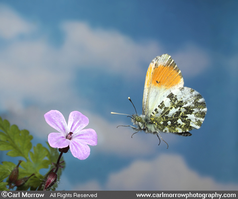 Orange Tip Butterfly in flight