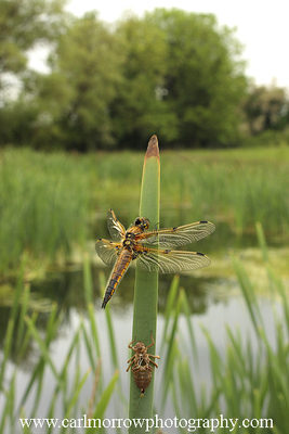Four Spotted Dragonfly just after emerging from Nymph skin.