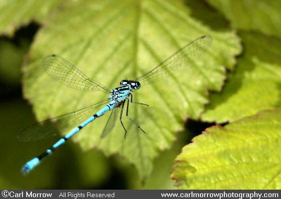 Common Blue damselfly in mid flight