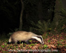 Badger foraging in deciduous woodland.