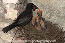 Male Blackbird feeding his chicks.