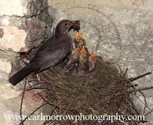 Female Blackbird feeding her chicks.
