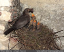 Blackbird feeding chicks.