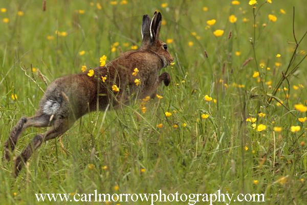 Irish Hare in a wildflower meadow