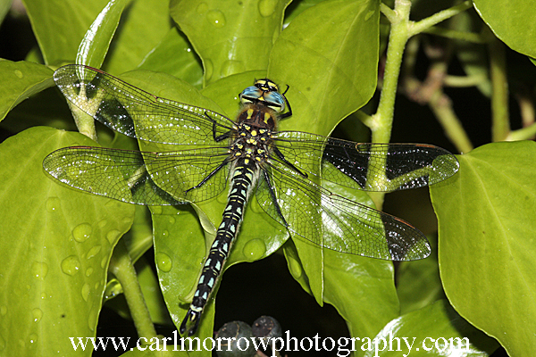 Hairy Dragonfly at rest.