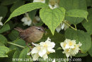 Wren in an Orange Blossom tree.