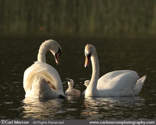 Mute Swan family.