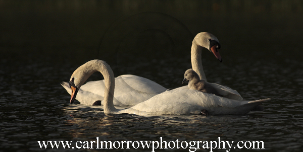 Mute Swan Family, County Cavan, Ireland, Planet Earth.