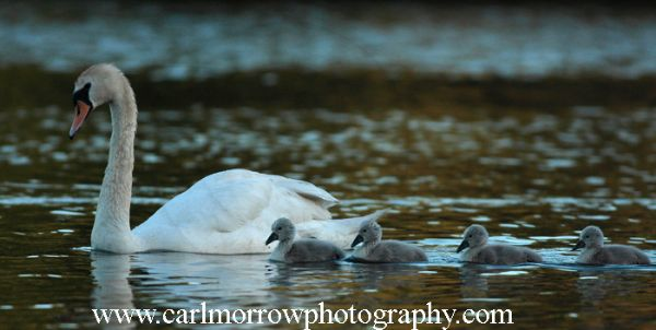 Mute Swan Family, County Cavan, Ireland, Planet Earth.
