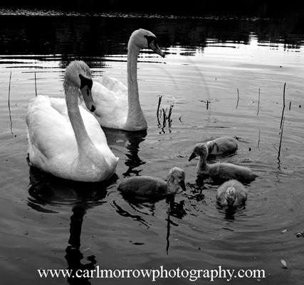 Mute Swan Family, County Cavan, Ireland.