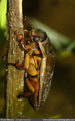 Great Water Diving Beetle
