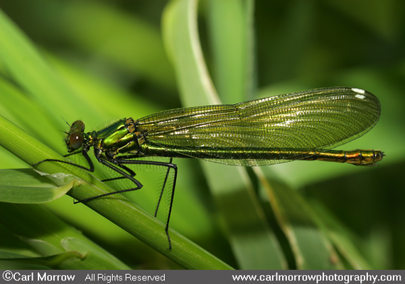 Banded Demoiselle Damselfly (female)