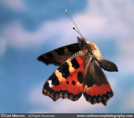 Small Tortoiseshell Butterfly in flight.