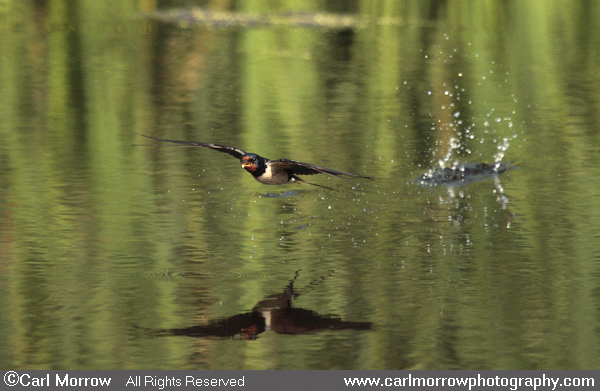 Swallow over water.