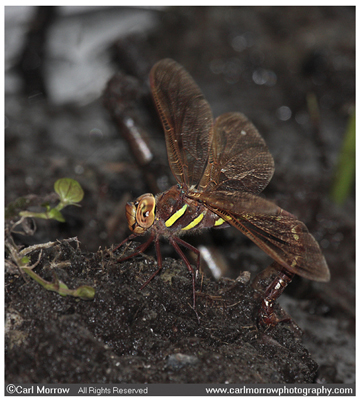 Brown Hawker Dragonfly laying her eggs in damp soil.