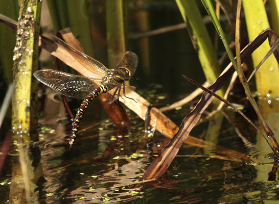Female Common Hawker Dragonfly searching for suitable plants in which to lay her eggs.