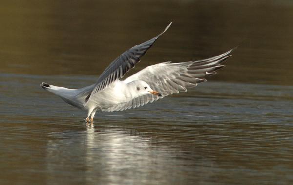 Black Headed Gull taking flight
