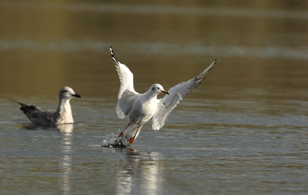 Black Headed Gull taking flight
