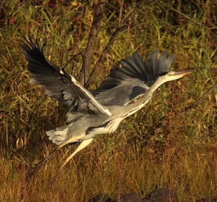 Grey Heron Taking flight.