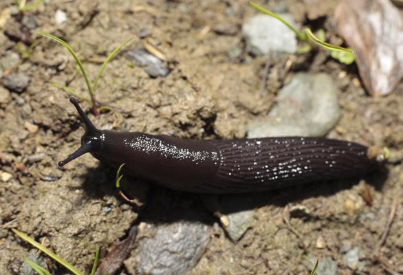 Black Slug.