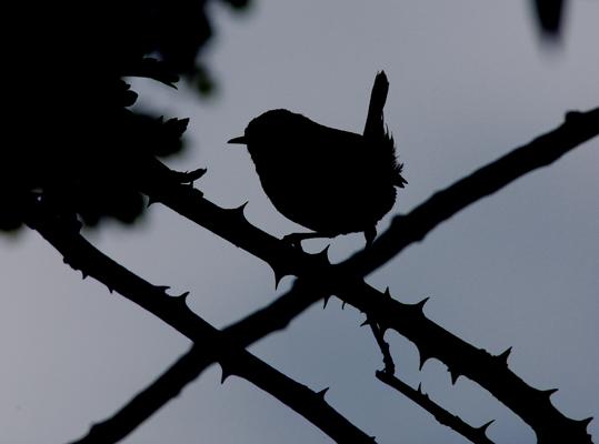 Wren silhouette.