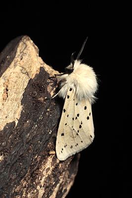White Ermine Moth.