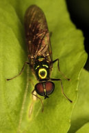 A species from the bacchini family of hoverflies