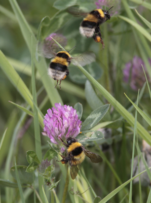 Bumblebees in flight. (multi layered image).