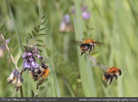 Carder Bees in mid flight.
