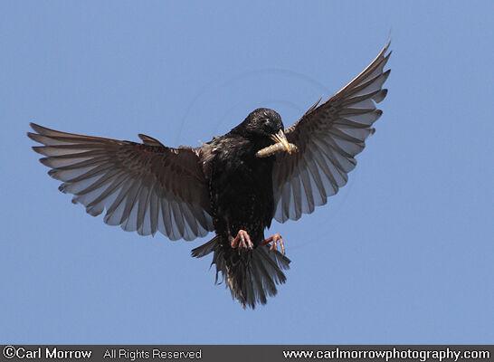 Starling in mid flight