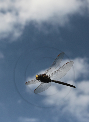Brown Hawker Dragonfly