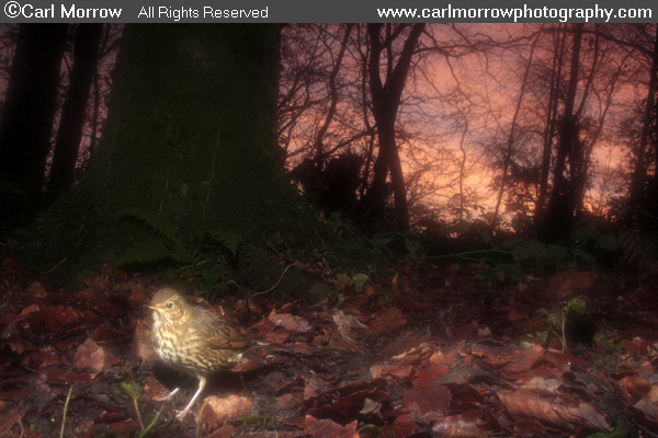 Song Thrush in woodland at sunrise.